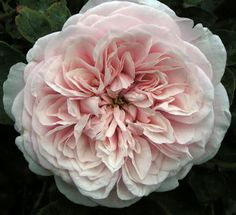 Rosa Cl. Souvenir de la Malmaison. Hundreds of petals and as full and shaped as this photo....I love the climber but many prefer the bush version of this rose.