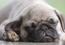 Why dogs' snoring isn't really cute