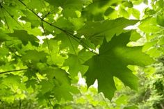 Sugar Maple (Canadian Maple) Leaves - symbol of wisdom, connection, unity Maple Tree, Maple Leaves, Leaf Symbol, Canadian Maple Leaf, Tree Canopy, Leaf Jewelry, Photosynthesis, Bright Green, Vermont