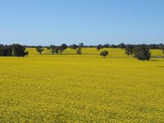 The beauty of the Canola field! Canola Field, Carbon Cycle, Chiropractic Clinic, Church Architecture, Western Australia, Free Pictures, Wonderful Places, Fields, Michigan