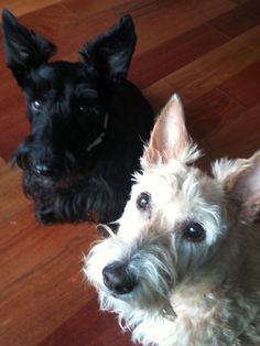 There's no denying: two Scotties are better than one! Double the cuteness, double the cuddles and double the fun!!