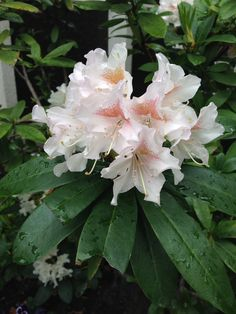 Rhododendron, Oslo