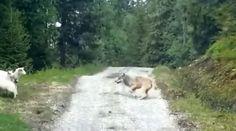 Trois moutons réussissent à faire fuir un loup.