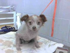 #A474724 Release date 10/25 I am a male, brown and white Chihuahua - Long Haired. Shelter staff think I am about 6 years old. I have been at the shelter since Oct 19, 2014.  City of San Bernardino Animal Control-Shelter. https://www.facebook.com/photo.php?fbid=10203790077449972&set=a.10203202186593068&type=3&theater