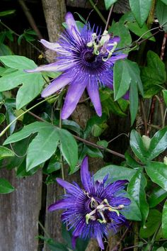 Full size picture of Passion Flower, Passionflower, Passion Vine, Passionvine 'Witchcraft' (Passiflora)