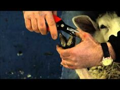 How to Prevent Sheep Foot Rot and Properly Trim Hooves, University of Maine Ext. - YouTube