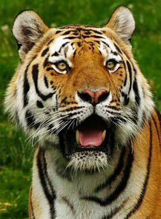 tiger images | Schlagwörter: Tiger , Wuppertal , Zoo