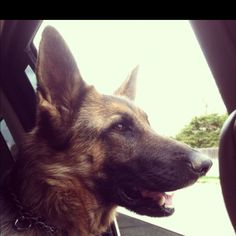 Car rides with my Karma girl! German shepherds are the sweetest dogs<3
