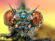 Amazing Macro Photographs of Insects Covered in Dew - The natural world continues to amaze us!