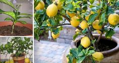 How to Grow Your Own Lemon Tree From Seed -    Did you know that even in the winter or in the northern climates can be grown a productive lemon tree inside of your home or garage. They are quite beautiful in appearance, and in terms of their dark-green leaves and their snow-white blooms, and they also emit a pleasant, refreshing...