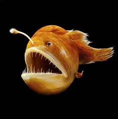 The humpback anglerfish or common black devil, Melanocetus johnsonii, is a deep-sea anglerfish in the family Melanocetidae, found in tropical to temperate parts of all oceans at depths of up to 2,000 meters (6,600 feet). Its length is up to 3 centimeters (1.2 inches) for males and up to 20 centimeters (8 inches) for females.