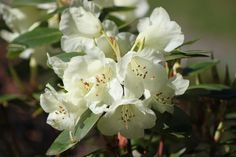 Rhododendron 'Moonstone' blooms in April