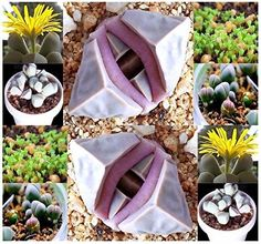 5 Packs x 20 Karoo Rose Lapidaria Margaretae - Rare mesembs living rock stome CACTUS cacti Succulent SEEDs - By MySeeds. Cactus Seeds, Succulent Seeds, Cacti And Succulents, Cactus Plants, Cactus Flower, Raised Bed Garden Design, Love Garden, Lawn And Garden, Indoor Garden