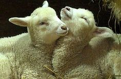 Too cute! Lambs resting together at @Lake_Metroparks Farmpark.