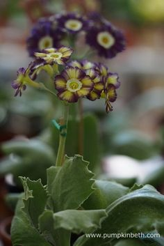 Colin Humphrey was awarded first prize at The National Auricula and Primula Society Southern Section Auricula Show for this super auricula. Primula Auricula, Mauve Color, Old Barns, Flower Petals, Shades Of Purple, All The Colors, Beautiful Flowers, Southern, Pumpkin