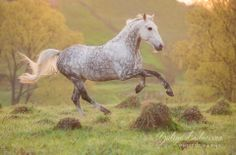 dapple grey horse running