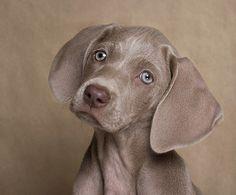 Pretty weimaraner puppy-