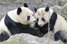 Mom & Son Panda Tenderness by Josef Gelernter