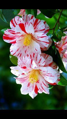 Hermosa flor Camellia