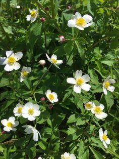 Alpine flowers at kleine scheidegg
