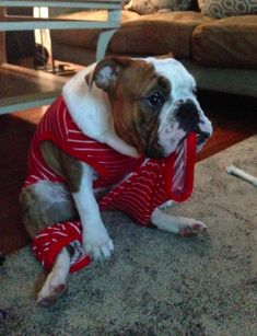 Ever show a bulldog a horror movie? They don't even flinch. 22 Reasons To Never, Ever Adopt A Bulldog Toy Bulldog, Bulldog Breeds, English Bulldog Puppies, Bulldogge Tattoo, Funny Dogs, Cute Dogs, Animals Beautiful, Cute Animals, Bulldogs Ingles