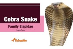 Snake Facts, Coral Snake, Snake Venom, Voter Id, How To Apply, Spiders, Snakes, Mexico, Top