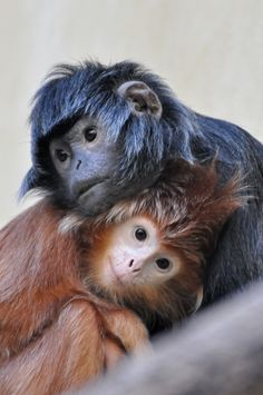 Javaanse langoer, Mutslangoer (Trachypithecus auratus auratus) by Truus & Zoo on baby Animals Primates, Mammals, Cute Baby Animals, Animals And Pets, Funny Animals, Wild Animals, Beautiful Creatures, Animals Beautiful, Tier Fotos