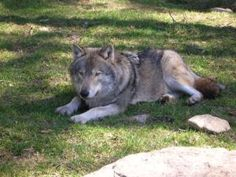 Wolves Simply Being Wolves - Nature and Environment Blog - MOTHER EARTH NEWS