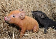 12 piglets have been born at Bebington High Sports College,Wirral. One of the ginger & black piglets born at the College farm.