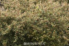 Monrovia's Coral Beauty Cotoneaster details and information. Learn more about Monrovia plants and best practices for best possible plant performance.