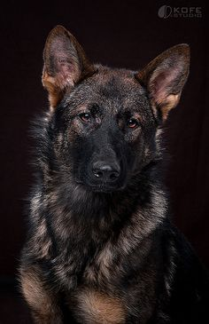 German Shepherd   Flickr - Photo Sharing!