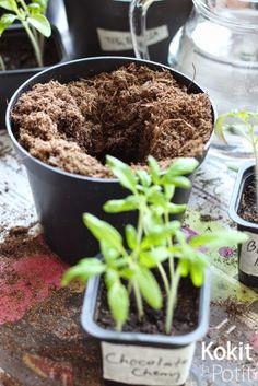 Sileälaitaisten sirkkalehtien jälkeen yksi lehtipari on kasvanut - on aika koulia taimet. Matka siemenestä tomaatiksi jatkuu. Kun siemen...