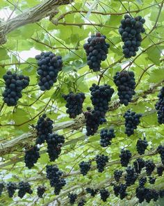 grapes = uvas :) Growing grapes is as close as you can get to make wine from water. Here is how you should prune your grape vine to get better results. Fruit Garden, Edible Garden, Garden Plants, Plants Indoor, Shade Garden, Indoor Garden, House Plants, Growing Grapes, Growing Plants