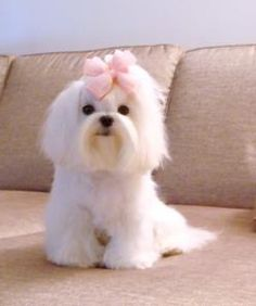 Maltese trimmed up: Animals, Maltese Puppies, Maltese Trimmed, Maltese Haircut, Maltes Dog Maltese, Adorable, 3Maltese 3, Maltese Dogs Haircuts