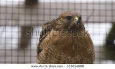 Falcon hawk in cage - stock photo