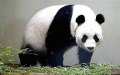 A panda can defecate up to 40 times a day. 15 Panda Facts