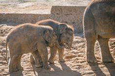Betroffen sind dem Bericht zufolge vor allem die Jungtiere des Zoos. Erst vor wenigen Monaten (Januar 2017) kamen in Hannover drei Babyelefanten zur Welt.