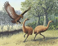Giant Haasts eagle attacking New Zealand moa - Моа — Википедия