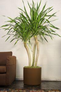 Dracaena Draco from Houston Interior Plants
