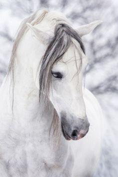 Beautiful white horse w/gray locks and muzzle