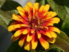 Zinnia for sale / inspiration only, no tut