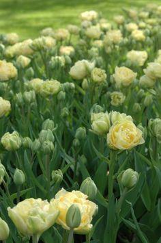 Tulip Verona Soft cream yellow. Fragrant. Beautiful tulip. April 35cm