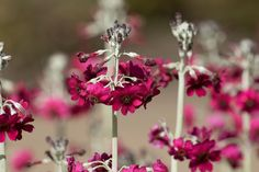 Crimson Candelabra primulas,pictured at The Valley Gardens,Harrogate,North Yorkshire ©Steve Gill from Photocrowd.com