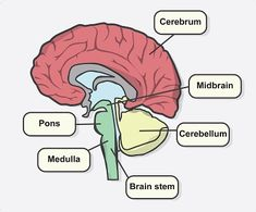Deficits after a Stroke according to its location - NeuroAiD BlogStroke Recovery Blog