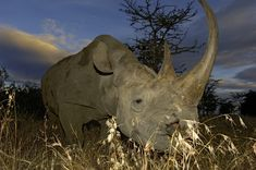 Black Rhino Rhino Facts, Mount Kenya, Rhinos, Environmental Issues, Small Cars, East Africa, Tanzania, Conservation, Habitats