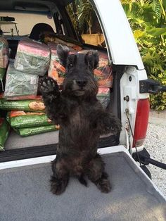 Mister, a Scottish terrier from Palmetto, FL. Some of our favorites from the 2016 Good Dog Reader Photo Contest Cute Puppies, Cute Dogs, Dogs And Puppies, Doggies, Cute Creatures, Terrier Dogs, Baby Dogs, Training Your Dog, Little Dogs
