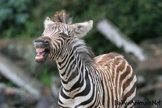 We've gathered our favorite ideas for Cute Baby Zebra Zebras, Explore our list of popular images of Cute Baby Zebra Zebras. Zebra Pictures, Cute Animal Pictures, Big Animals, Cute Baby Animals, Animal Babies, Exotic Animals, African Memes, Zebra Cartoon, Cute Dogs