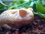 Albino toad