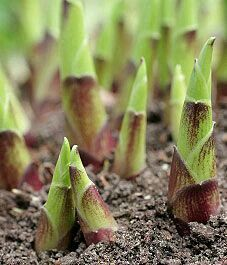Divide hostas when the shoots look like this...very beneficial.