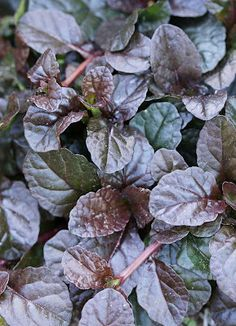 Krybende læbeløs - Fra frø til blomst: Planter med mørkt løv eller mørke blomster
